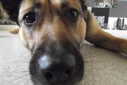 Milka, chien Berger belge