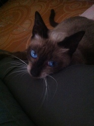 Milka, chat Siamois