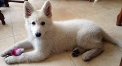 Milkiss, chien Berger blanc suisse