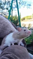 Milkshake, rongeur Hamster