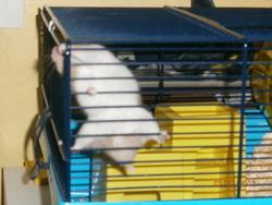 Milky, rongeur Hamster