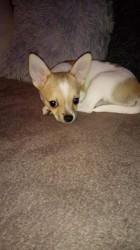 Milla, chien Chihuahua