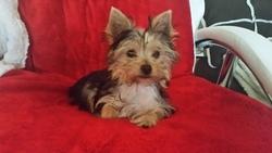 Milla, chien Yorkshire Terrier