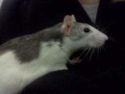 Milléna, rongeur Rat