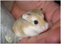 Millénium, rongeur Hamster