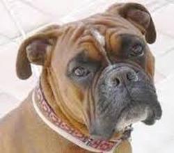 Miller, chien Boxer