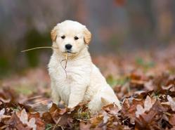 Millie, chien Golden Retriever