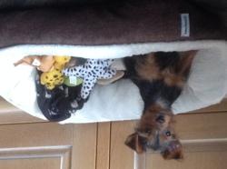 Millie, chien Yorkshire Terrier