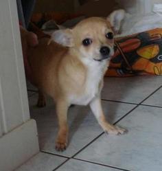 Millie, chien Chihuahua