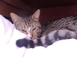 Millie, chat Européen