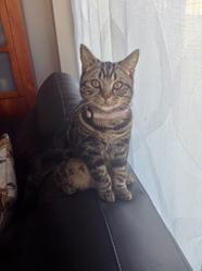 Millie, chat British Shorthair