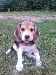 Millie De La Vallée Des Adriens, chien Beagle