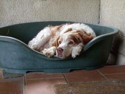 Millou, chien Épagneul breton
