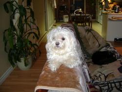 Millou, chien Bichon maltais