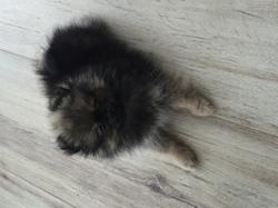 Milly, chien Spitz allemand