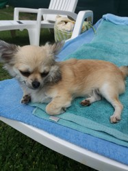 Milly, chien Chihuahua