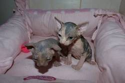Milly, chat Sphynx