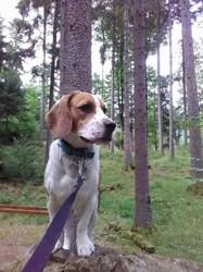 Milo, chien Beagle