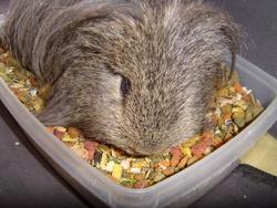Rip, rongeur Hamster