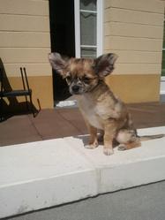 Milo, chien Chihuahua
