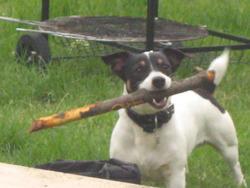 Milo, chien Jack Russell Terrier