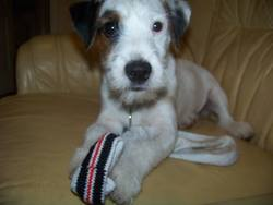 Ico, chien Jack Russell Terrier