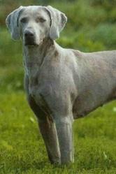 Milo, chien Braque de Weimar