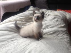 Milo, chat Siamois