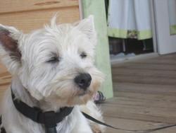 Milo, chien Scottish Terrier