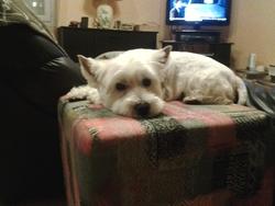 Milo, chien Welsh Terrier
