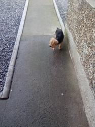 Milo, chien Yorkshire Terrier