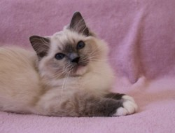 Milo De A Kind Of Magic, chat Ragdoll