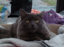 Milord, chat Nebelung