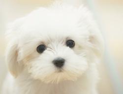 Milou, chien Bichon maltais