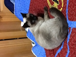Milou, chat Siamois