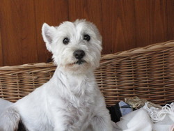 Milou, chien West Highland White Terrier