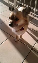 Milou, chien