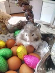 Milou, rongeur Hamster