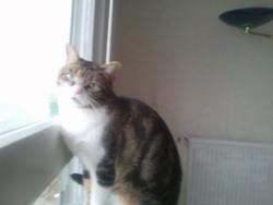 Milou, chat Européen