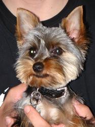 Milou, chien Yorkshire Terrier