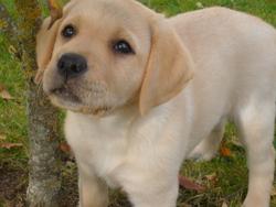 Milou, chien Labrador Retriever