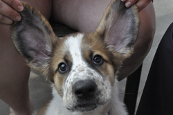 Milou, chien Saint-Bernard