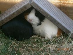 Milou , rongeur Cochon d'Inde