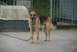 Milou, chien Berger allemand