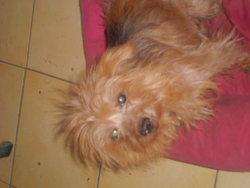 Milou Rip , chien Yorkshire Terrier