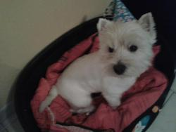 Milou, chien West Highland White Terrier