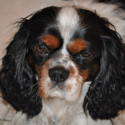 Milou, chien Cavalier King Charles Spaniel