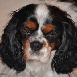 Milou, chien Cavalier King Charles Spaniel