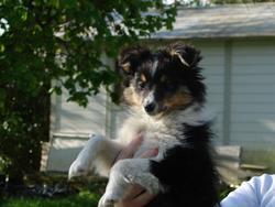Milou, chien Berger des Shetland