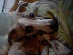 Milou, chien Greyhound